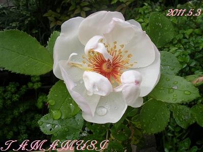 20110503rose2