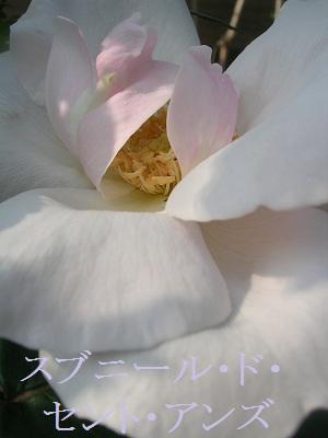 20120510rose2