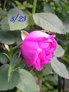 20120523rose