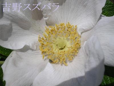 20120513rose