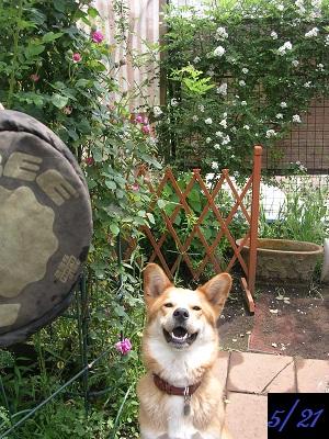 20120521rosedog