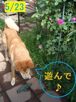 20120523rosedog1