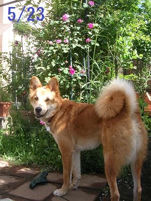 20120523rosedog2