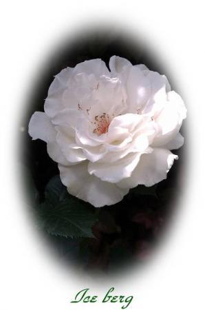 rose513 017
