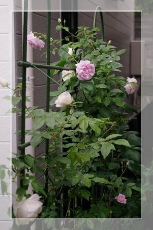 rose522 061