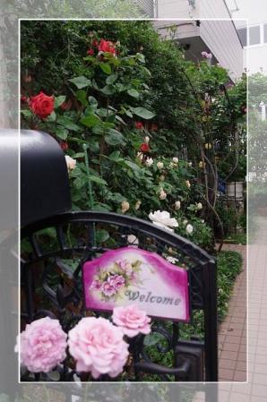 rose522 060