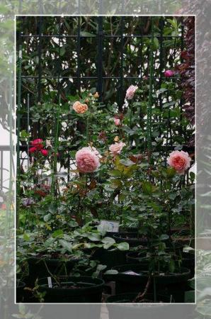 rose522 036