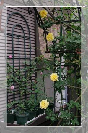 rose522 079
