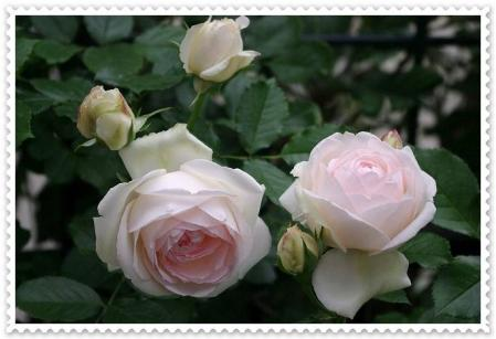 rose530 033