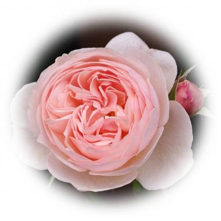 rose522 044