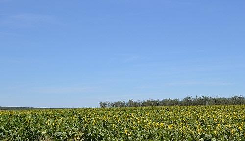 7ひまわり畑