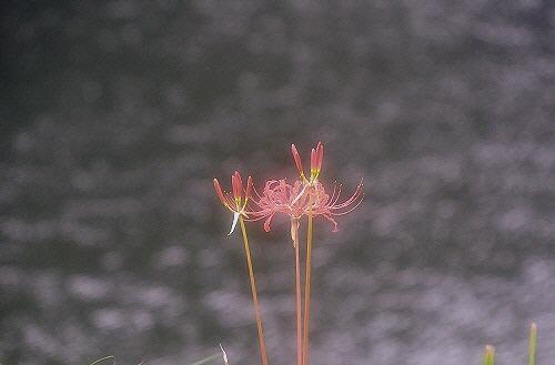 13池と彼岸花