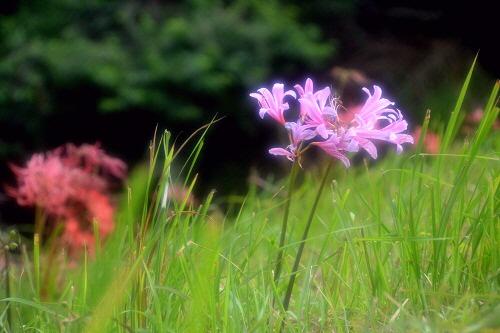 9紫の彼岸花