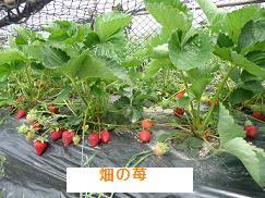 P1030376畑の苺