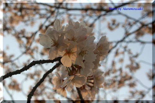 花明り(た)