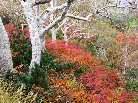 八方池から少し登ったところの白樺が群生しているところ赤の紅葉が・・・・