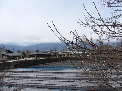 大王わさび田桜もほころび、北アルプスも少し展望