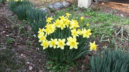 家の前の水仙も咲き始めてくれました