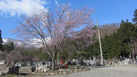 1飯森地区長谷寺の桜