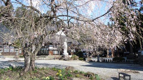 2飯森地区長谷寺の枝垂桜