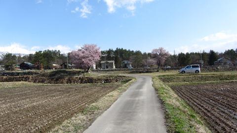 3飯森地区の田んぼ中に咲く二本の桜