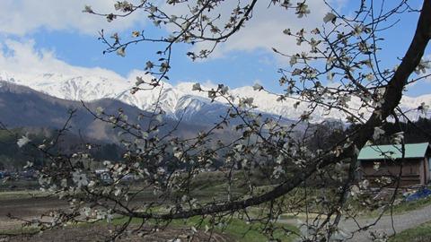 8こぶしの花と白馬三山1