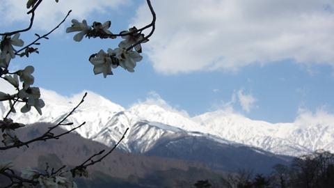 9こぶしの花と白馬三山2
