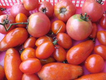 トマト色々