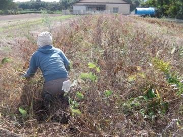 大豆収穫中