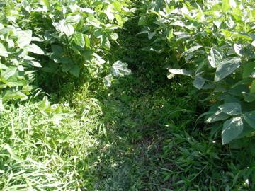 大豆草刈り後