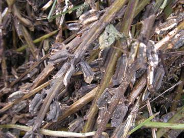 白胡麻収穫
