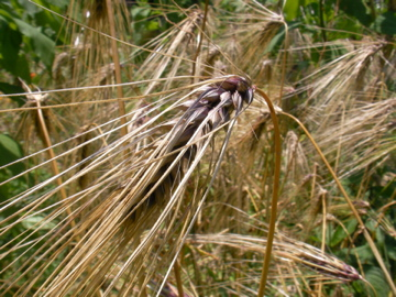 もち麦収穫