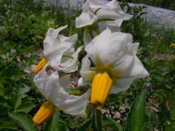 ジャガ花1