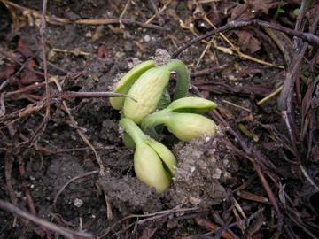 インゲンの芽