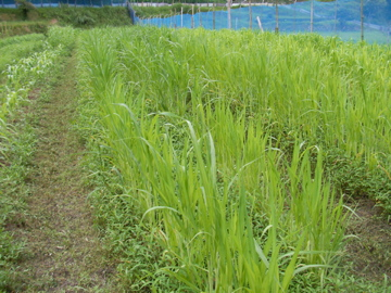 雑穀畑21