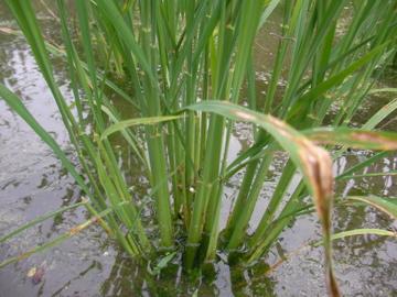 稲の様子2