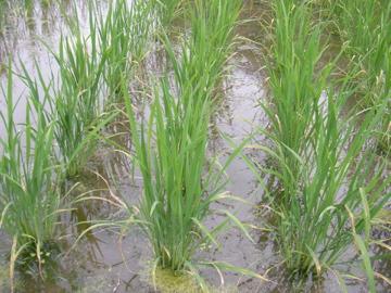 稲の様子1