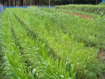 雑穀畑22