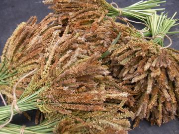 シコクビエ収穫