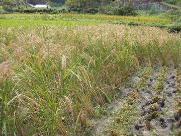 稲刈り22
