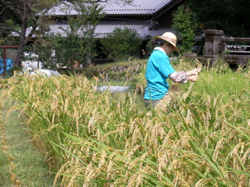 稲刈り23