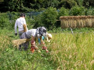 稲刈り24