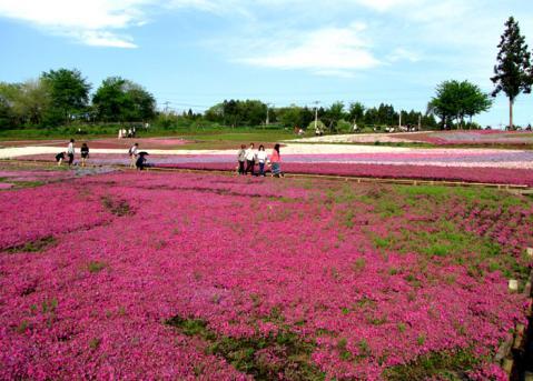秩父芝桜の丘