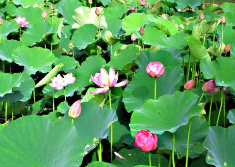 秩父札所25番久昌寺蓮の花