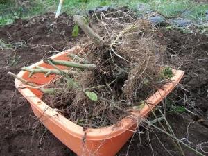 141020毛豆の根