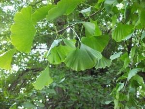 141023大イチョウの葉