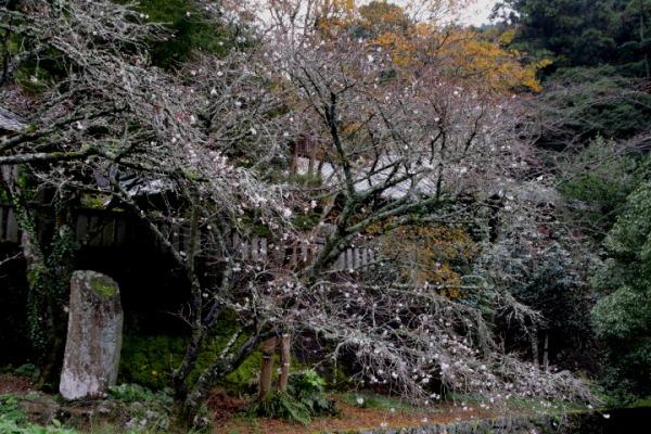 惣河内神社百日桜 141101 01