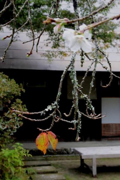 惣河内神社百日桜 141101 04
