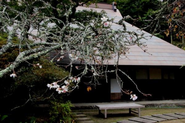 惣河内神社百日桜 141101 03