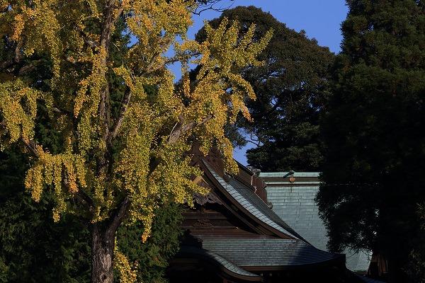 築島神社銀杏紅葉 141115 02